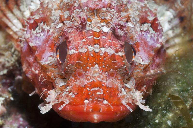 Kleiner Roter Drachenkopf (Scorpaena notata) an der Costa Brava im spanischen Mittelmeer