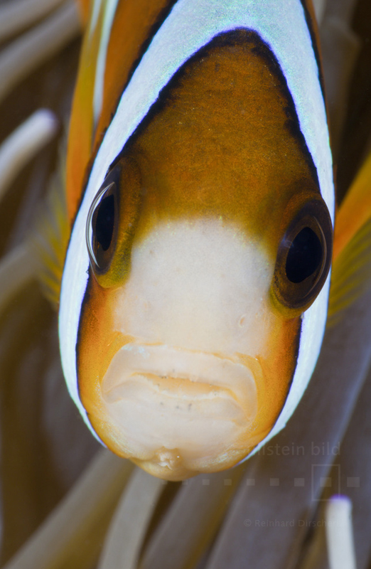 Clarks-Anemonenfisch (Amphiprion clarkii) im Indischen Ozean vor Bali