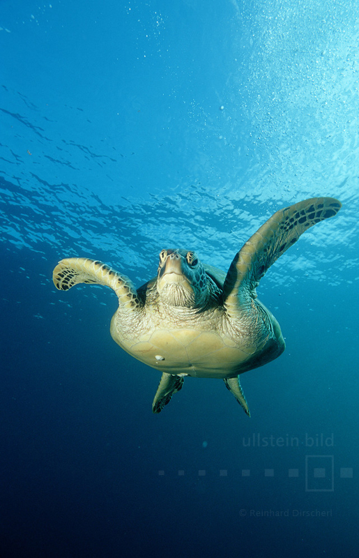 Grüne Meeresschildkröte (Chelonia mydas) in der Celebessee östlich von Borneo im Pazifischen Ozean vor der Insel Sipadan