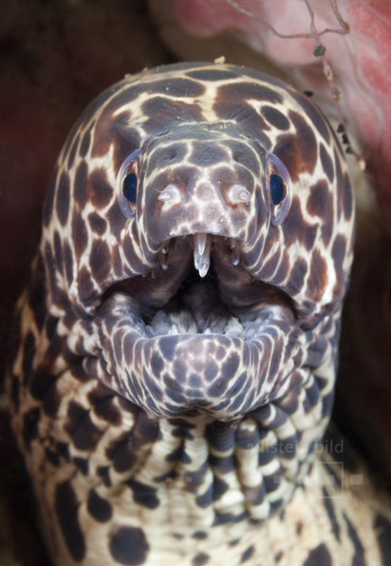 Netzmuräne (Gymnothorax favagineus) im Indischen Ozean vor Bali, Indonesien