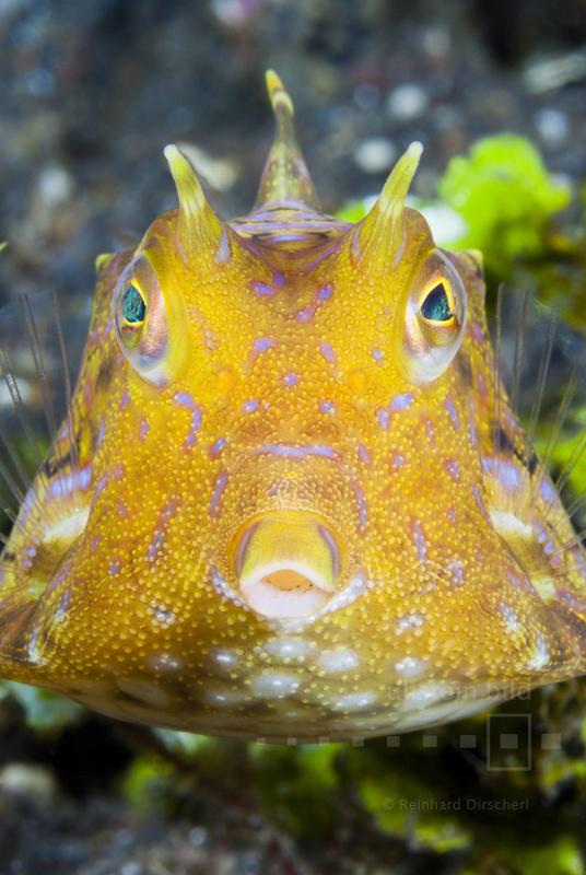 Rückendorn-Kofferfisch (Lactoria fornasini) im Indischen Ozean vor Bali, Indonesien