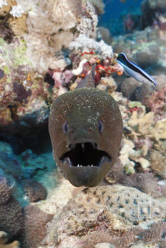 Riesenmuräne (Gymnothorax javanicus) im Roten Meer bei Dahab, Ägypten