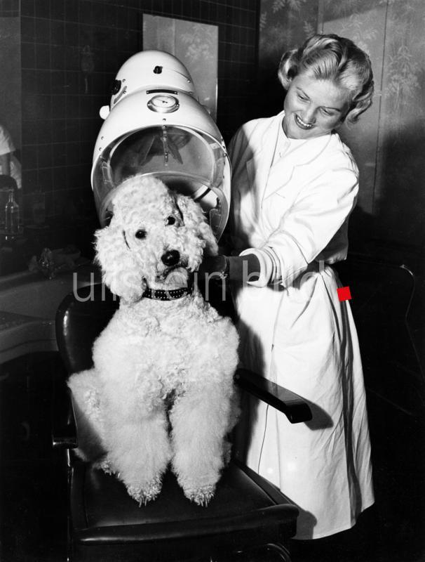 Pudel unter der Trockenhaube beim Hunde Friseur 1959.